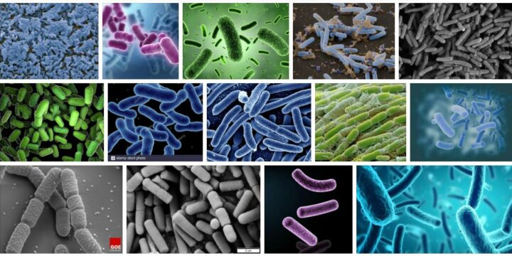 Meaning of Bacillus